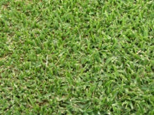 Shademaster Buffalo Grass